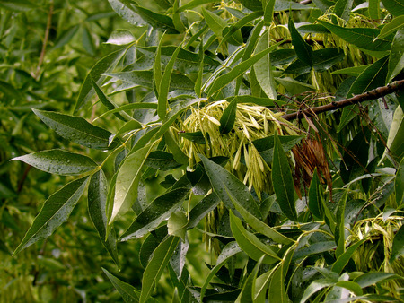 excelsior: ash-tree branch with new and old seeds