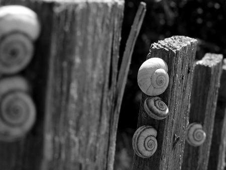 clam gardens: snails on old wooden fence in black and white