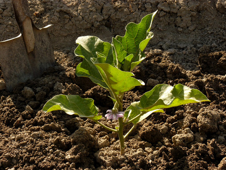 growing eggplant with first flower photo