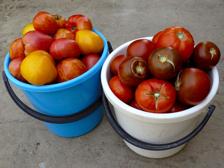 home grown: fresh harvested home grown tomatoes harvest