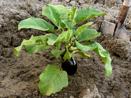 growing eggplant with first fruit photo