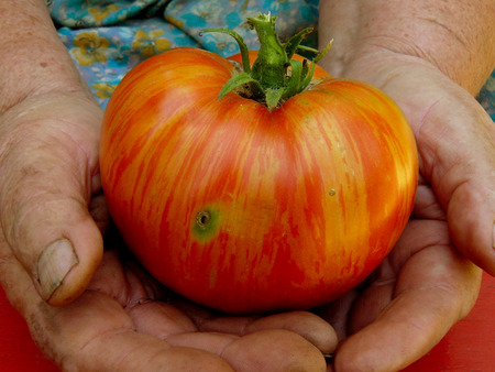 home grown: fresh harvested striped organic tomato in old gardener hands