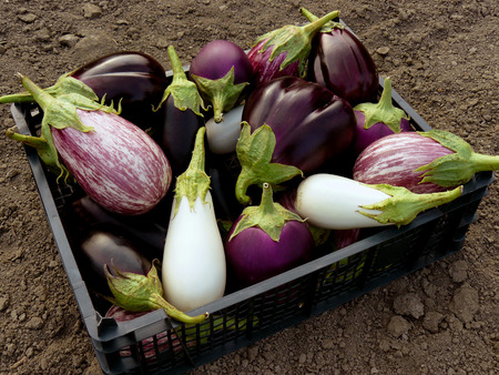 full grown: fresh harvested eggplants in plastic container