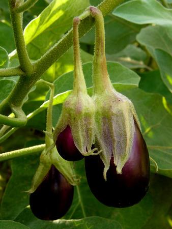 growing eggplant with fruits photo