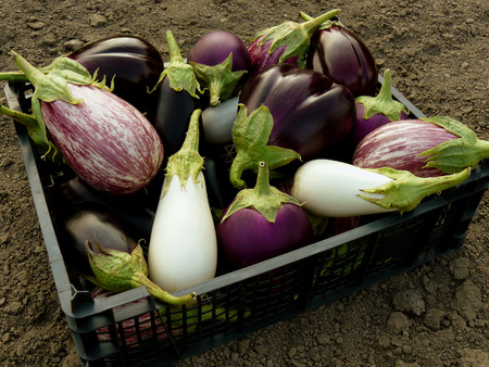 eggplants: fresh harvested eggplants in plastic container