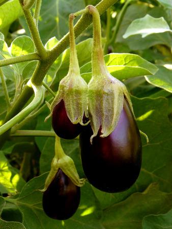 botanical garden: eggplants growing in the garden