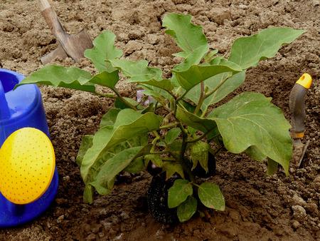 growing eggplant with garden tools photo