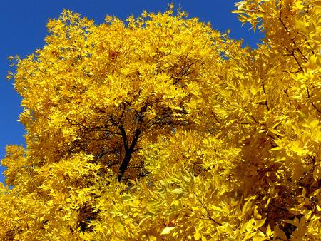 foliar: autumnal golden foliage of ash-tree