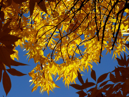 foliar: ash-tree twigs with fall golden leaves