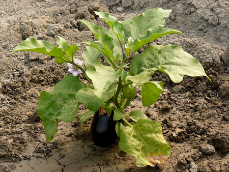 growing eggplant with fruits and flower photo