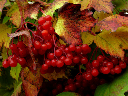 clusters: clusters of red viburnum among autumnal leaves