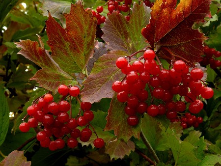 guelder rose: beautiful clusters of red viburnum among autumnal leaves
