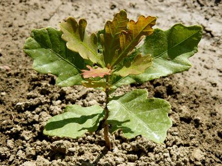 english oak: English  pedunculate  oak tree saplingtwo months from germination with second flush of leaves