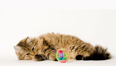 studioshot: Young long haired cat is playing with his ball