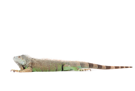 primal: Young iguana in a white studio havingnice time LANG_EVOIMAGES