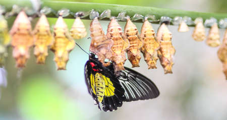 A butterfly with many cocoons
