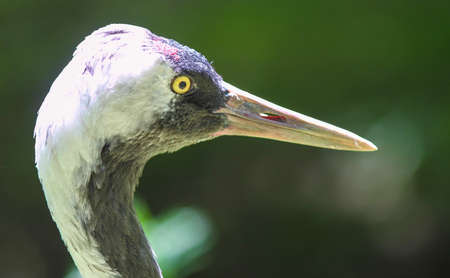 ardea cinerea: Heron   Ardea cinerea  in front of green blurred background Stock Photo