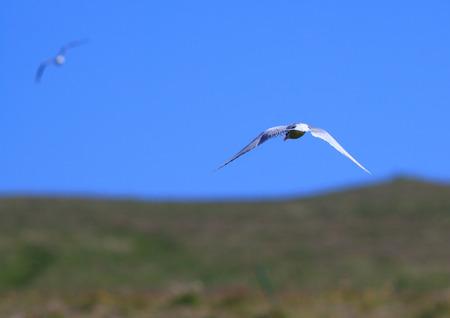 elusive: The beautiful and elusive arctic tern