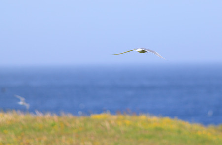 The beautiful and elusive arctic tern