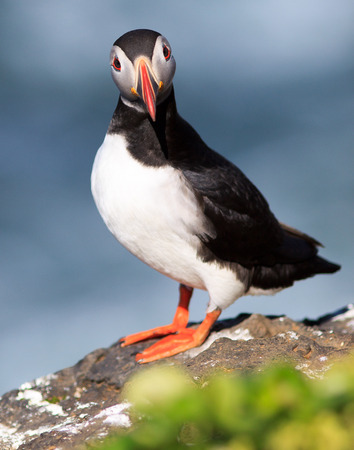 Atlantic Puffin  Fratercula arctica  on cliff top in Grimsey, Iceland
