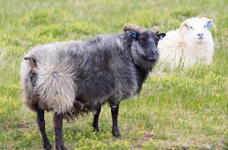Icelandic sheep looking at the camera