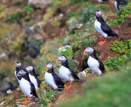 Atlantic Puffin (Fratercula arctica) on cliff top in Grimsey, Iceland