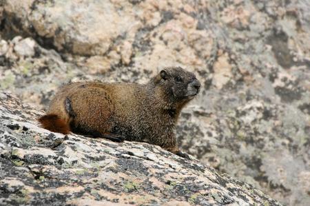 hoary: Hoary Marmot