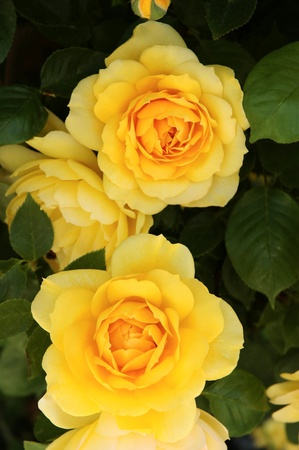 attar: yellow roses in subdued light a rainy spring morning