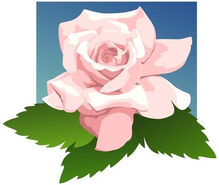 sheer: Delicate color of the Sheer Bliss hybrid tea rose  Illustration