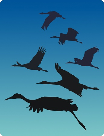 refuge: Sandhill cranes migrating from Bosque del Apache national Wildlife Refuge, New Mexico