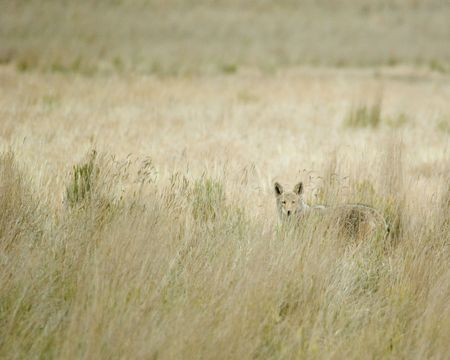 A coyote in tall grass in Colorado wild photo