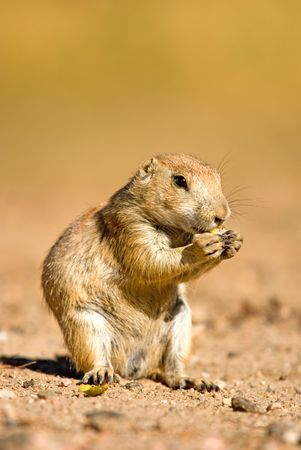 A prairie dog stand up and eating food photo