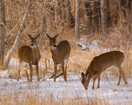 winter: Wild deer in a Colorado winter Stock Photo