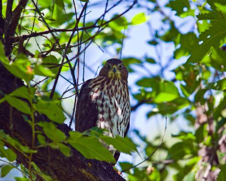 cooper: A wild Coopers Hawk sitting in a tree in Prospect Park Colorado Stock Photo