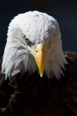 beaks: A Bald Eagle ti guarda su uno sfondo scuro