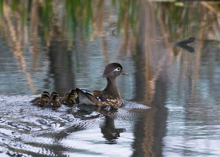 pone: Baby wood ducks and their mom swimming in a pone Stock Photo