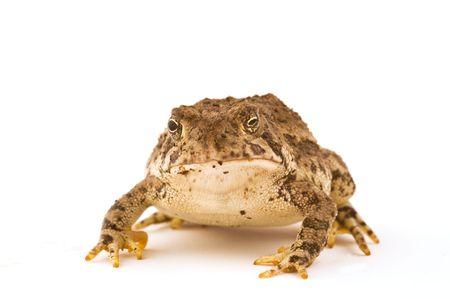 unequal: A frog isolated on white background with unequal puples