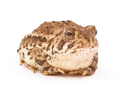 unequal: Una rana aislada en fondo blanco con puples desigual