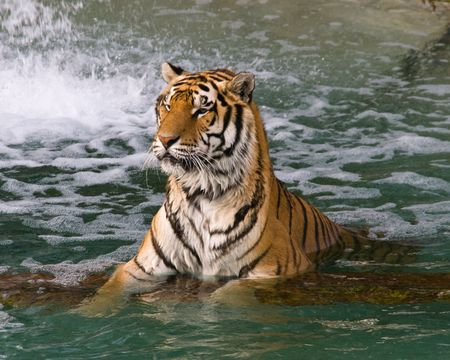 Two tigers swimming in a lake in a zoo Stock Photo - 7688212