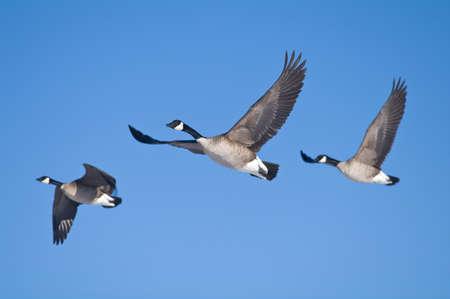 ocas: Tres gansos volando contra un cielo azul