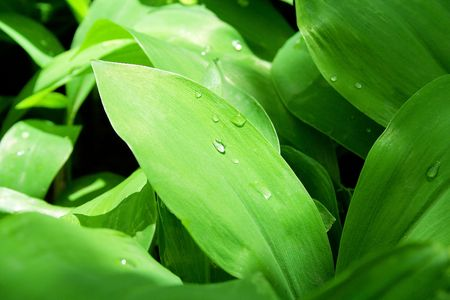 Drops of dew on green leaves photo