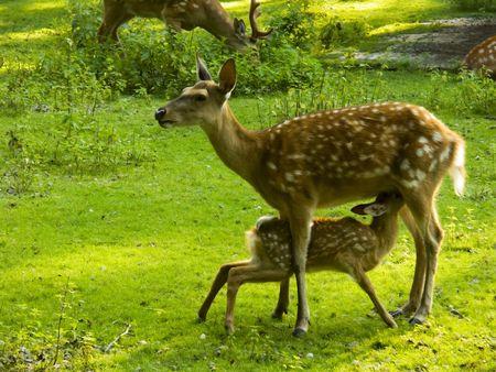 it's: Sika deer feeding its fawn.