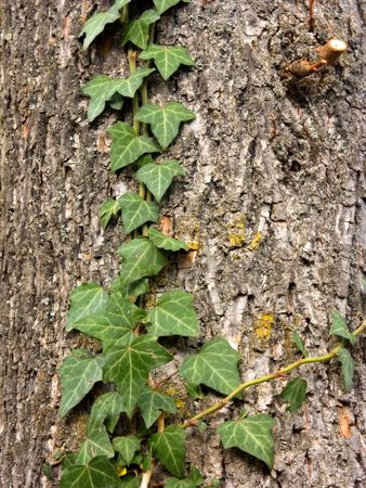 encroach: A branch of green ivy climbing on the bark of a tree.