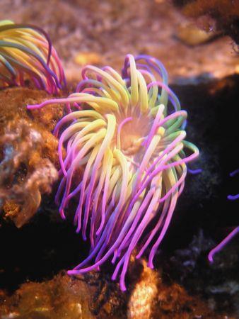 Closeup up a colorful sea anemone...