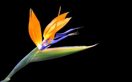 A wonderful strelitzia flower...