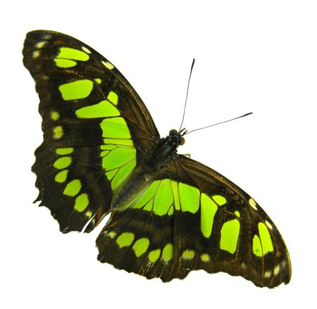 feeler: Isolated yellow-black butterfly