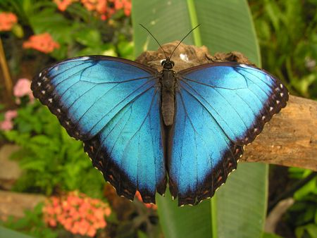 Large blue butterfly (Morpho) sitting on a root. Stock Photo