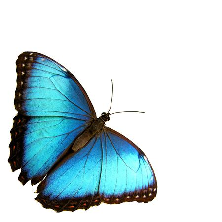 blue butterfly: Isolated blue butterfly...