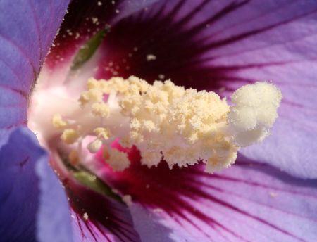 touched: Close-up of a hibiscus flower