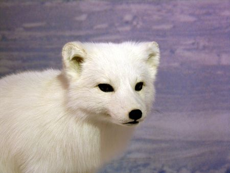 Portrait of a young arctic fox... Stock Photo